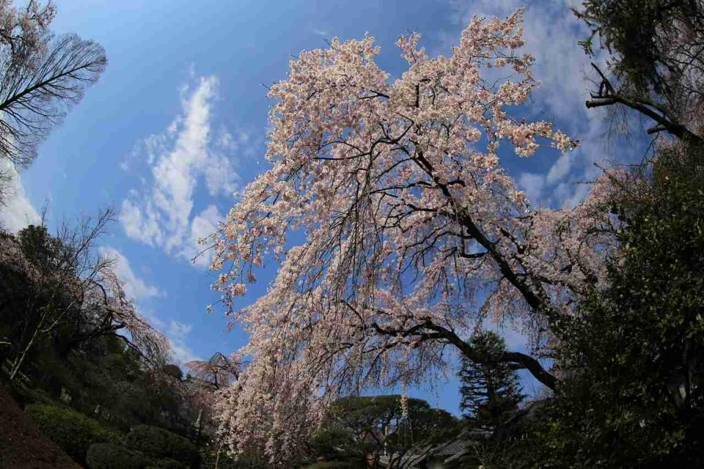 【街歩き川越】2016/03/27川越の桜開花状況 喜多院と中院のしだれ桜は満開。ソメイヨシノなどは3分咲き