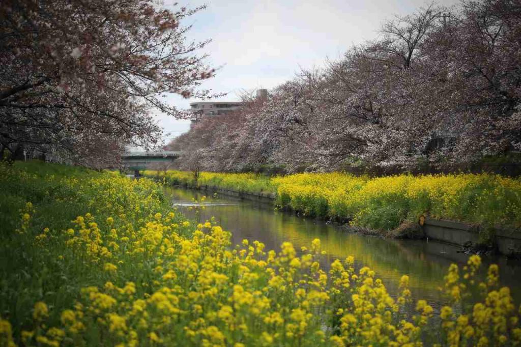 【街歩き川越】2016/03/27川越小仙波の桜開花状況は5分咲き。菜の花は満開